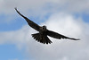 Peregrine Falcon (Falco peregrinus), Fall Raptor Release