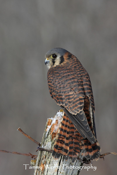 Female American Kestrel*