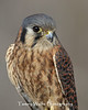 Female American Kestrel Portrait*