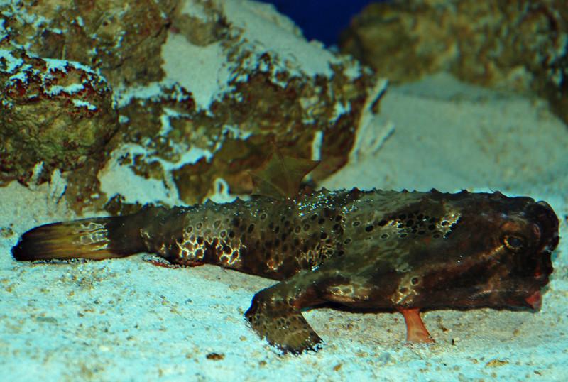Short Nose Batfish (ogcocephalus nasutus)