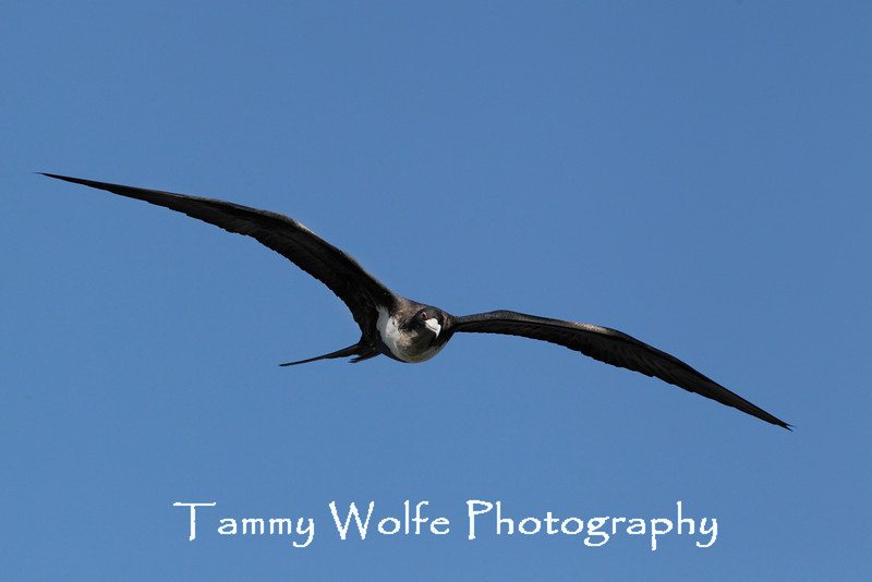 Great Frigatebird (Fregata minor)