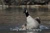 Canada Goose Splashing (#0440)