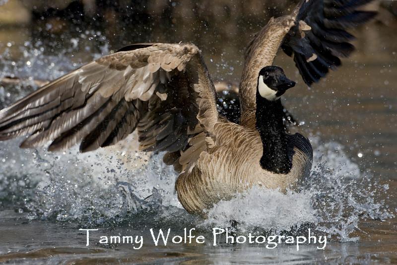 Canada Goose (#0299)