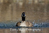 Canada Goose Splashing (#0338)