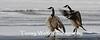Canada Geese Walking