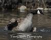 Canada Goose Splashing (#0436)