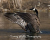 Canada Goose with Outstretched Wings (#0385)