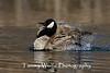 Canada Goose Splashing (#0342)