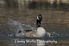 Canada Goose Splashing (#0505)