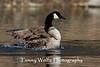 Canada Goose Splashing (#0334)