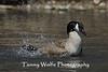 Canada Goose Splashing (#0517)