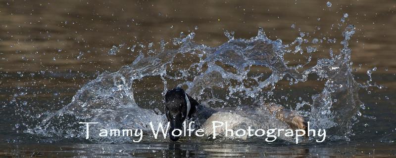 Canada Goose Splashing (#0503)