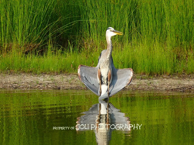 Great Blue Heron, drying its wings in the afternoon sun