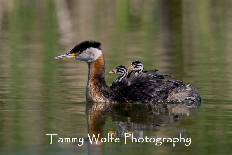 Red-necked Grebe, Adult with chicks