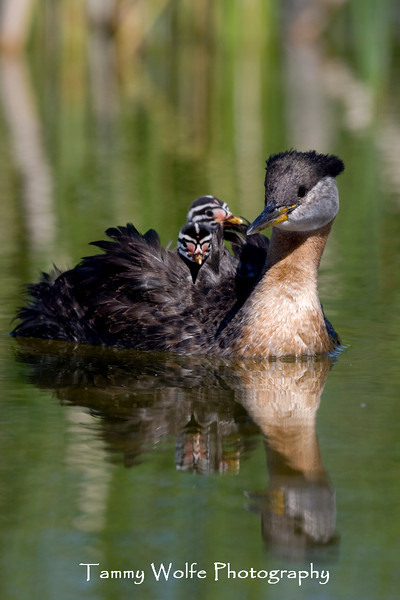 Red-necked Grebe with Riders