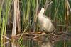 Western Grebe (Aechmophorus occidentalis)
