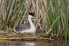 Western Grebe (Aechmophorus occidentalis), adult with chick
