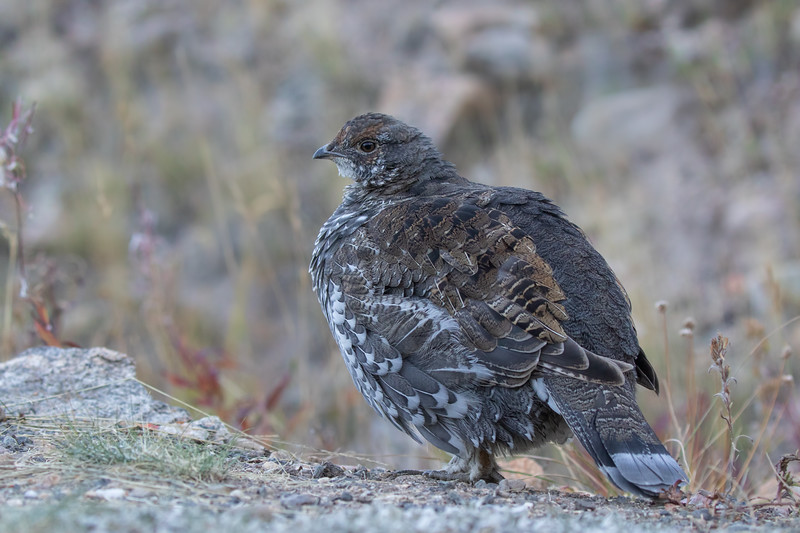 I think this is a Dusky Grouse (Dendragapus obscurus),  Rocky Mountain National Park.