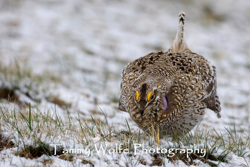 Sharp-tailed Grouse displaying on a lek