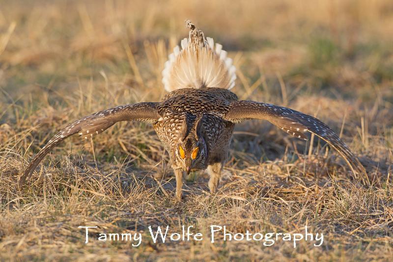 Sharp-tailed Grouse, Tympanuchus phasianellus