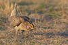 Sharp-tailed Grouse, Tympanuchus phasianellus