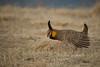 Greater Prairie Chicken (Tympanuchus cupido)