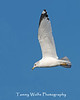 Ring-billed Gull Flying