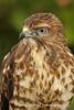 Broad-Winged Hawk Portrait*