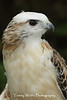 Red-Tailed Hawk (Krider's) Portrait*