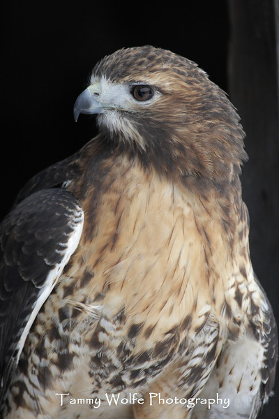 Red-Tailed Hawk Portrait*