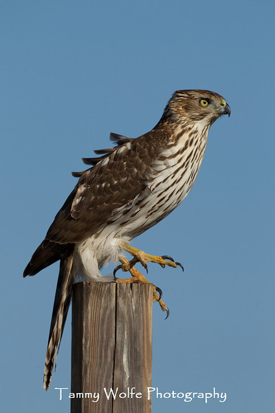 Cooper's Hawk (Accipiter cooperii), Immature