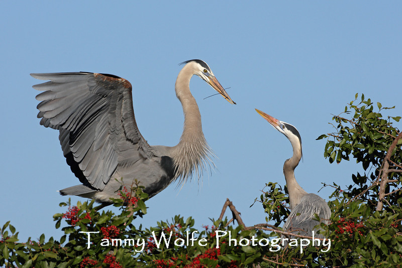 Great Blue Heron passing a stick to its mate