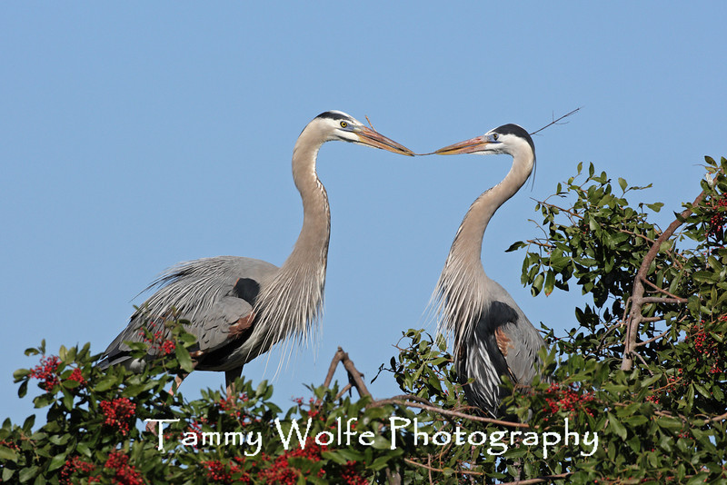 Great Blue Heron passing a stick to mate as part of the nest building ritual