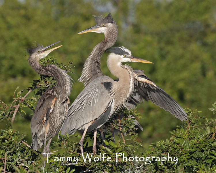 Great Blue Heron Adult with two Chicks