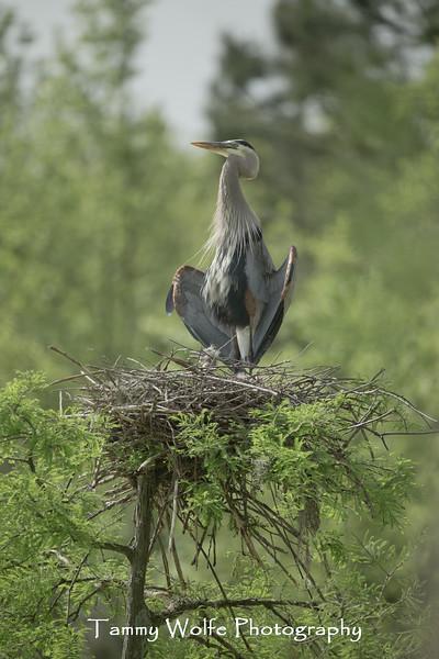 Great Blue Heron (Ardea herodias)