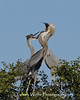 Great Blue Heron Adult Feeding a Chick