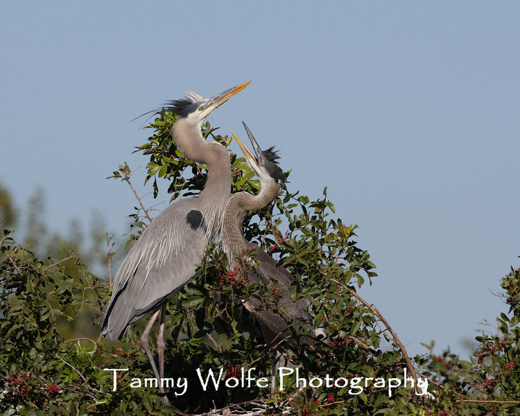 Great Blue Heron Adult with a Chick