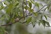 Nesting Ruby-throated Hummingbird (Archilochus colubris)