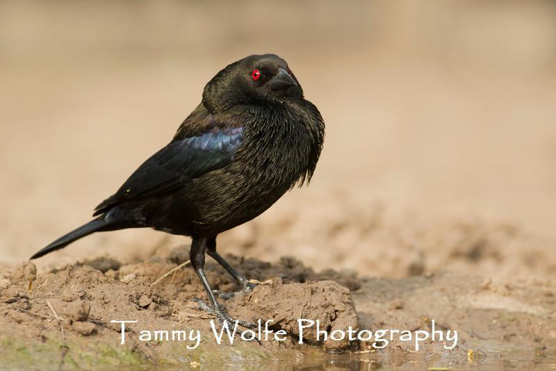 Bronzed Cowbird (Molothrus aeneus)