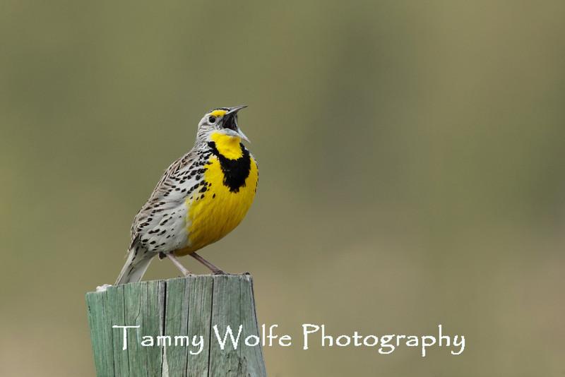 Singing Western Meadowlark (Sturnella neglecta)