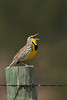 Singing Western Meadowlark (Sturnella neglecta)