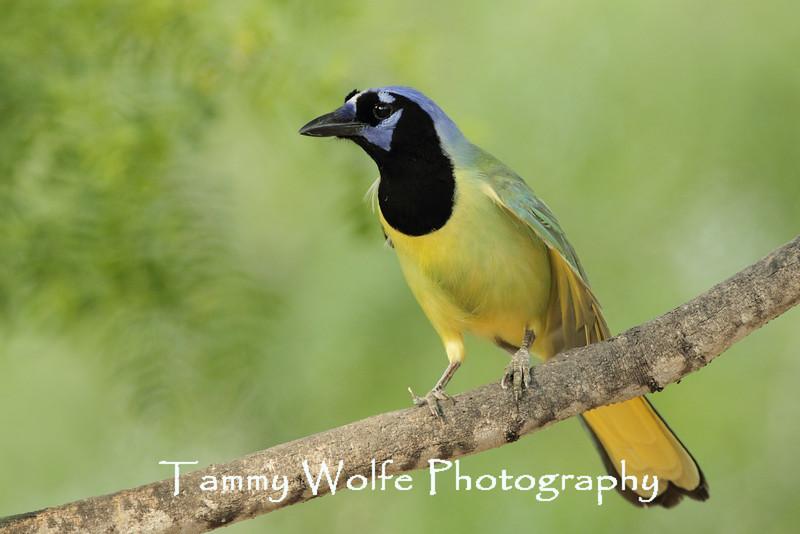 Green Jay (Cyanocorax luxosus)