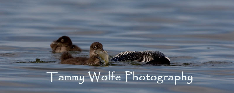 Common Loon (Gavia immer), Baby with a Big Fish