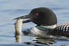 Common Loon (Gavia immer), Adult with Fish