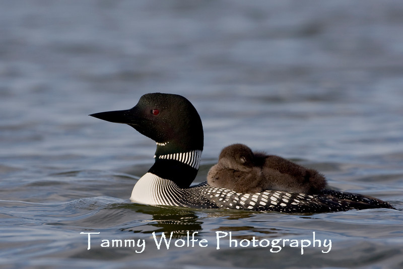 Common Loon (Gavia immer) with Sleeping Chick