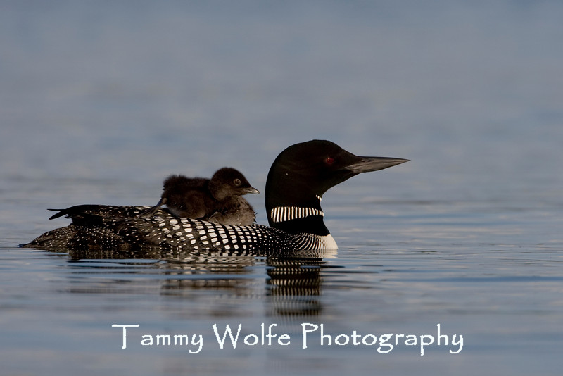 Common Loon (Gavia immer) with Baby Riding