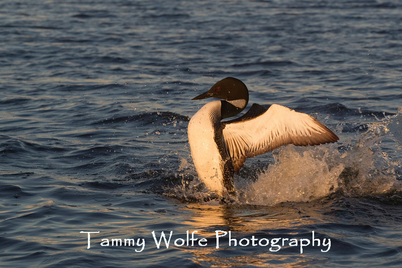 Common Loon (Gavia immer), displaying confrontation behavior toward another loon