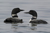 Common Loon (Gavia immer) Family
