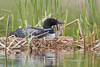Common Loon (Gavia immer) on the nest