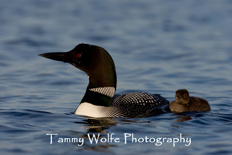 Common Loon (Gavia immer), Adult with Chick